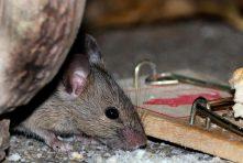 controle-de-ratos